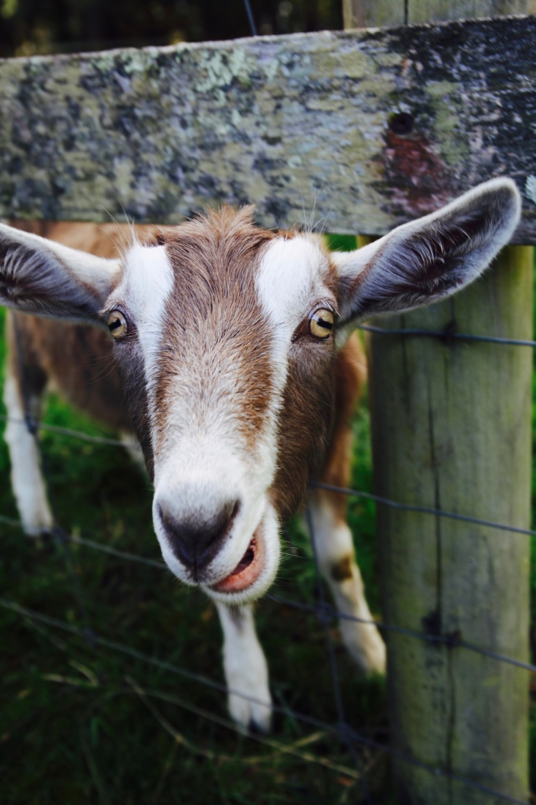 Cheese- Goat close up cropped ear (1)